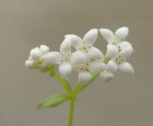 Galium palustre - Graham Calow - Wykin Canal Towpath - 26 June 2015