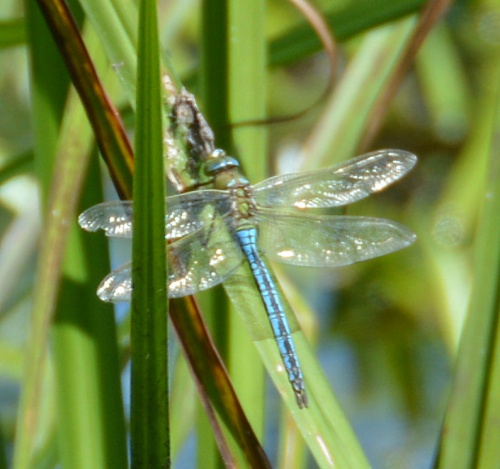 Anax imperator - Barbara Cooper - Long Clawson - 30 June 2015