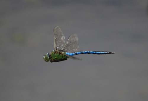 Anax imperator - Paul Ruddoch - Melton Country Park - 02 July 2015