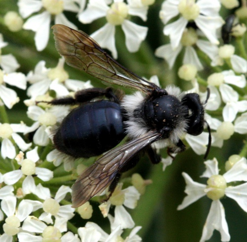 Andrena cineraria - David Nicholls - Bloody Oaks - 02 July 2015