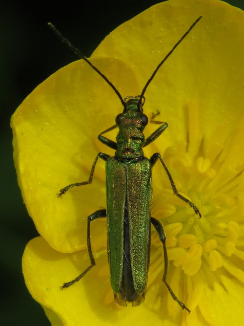 Oedemera nobilis - David Gould - Croft Hill, Leics. - 22 May 2015 - female