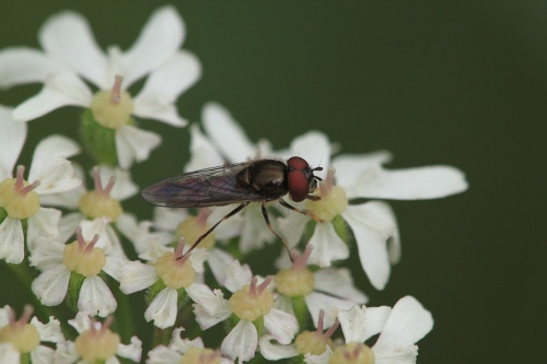 Platycheirus albimanus - Paul Ruddoch - Melton Country Park - 08 July 2015