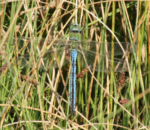 Anax imperator - Craig Mabbett - Broughton Astley Brick Quarry - 12 July 2015