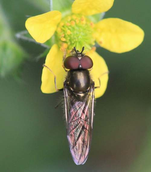 Platycheirus albimanus - Paul Ruddoch - Melton Country Park - 12 July 2015