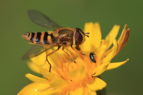 Syrphus ribesii - Paul Ruddoch - Melton Country Park - 12 July 2015