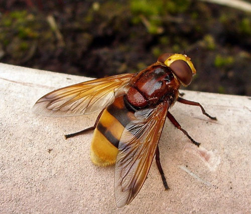 Volucella zonaria - Lostash - Whetstone 154 - 12 July 2015 - female