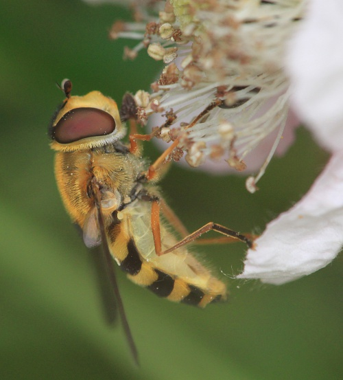 Syrphus ribesii - Paul Ruddoch - Melton Country Park - 14 July 2015