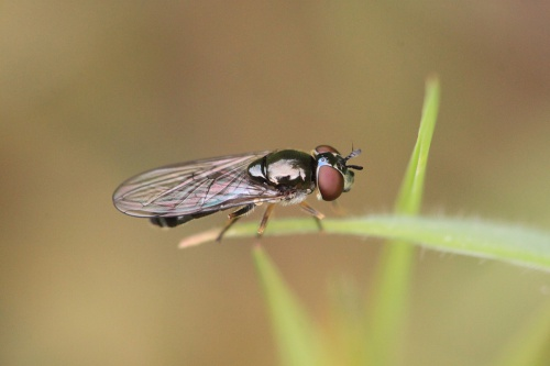 Platycheirus albimanus - Paul Ruddoch - Melton Country Park - 14 July 2015