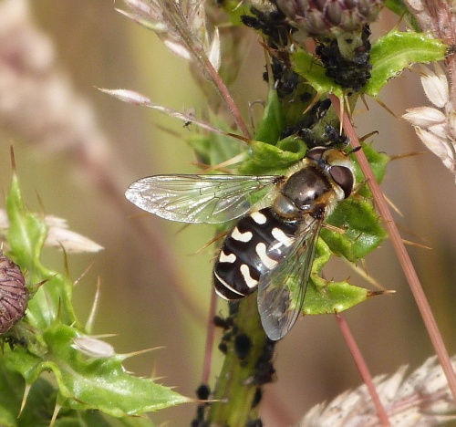 Scaeva pyrastri - Graham Calow - Dunton Bassett Quarry - 16 July 2015