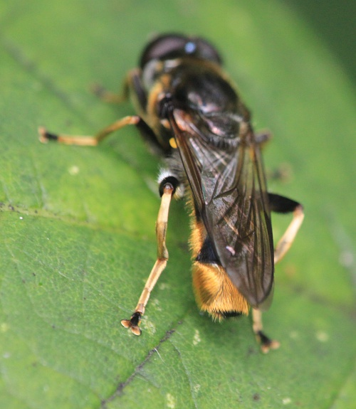 Xylota sylvarum - Paul Ruddoch - Melton Country Park - 15 July 2015