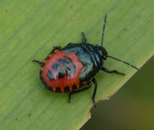 Zicrona caerulea - Barbara Cooper - Long Clawson - 17 July 2015 - nymph