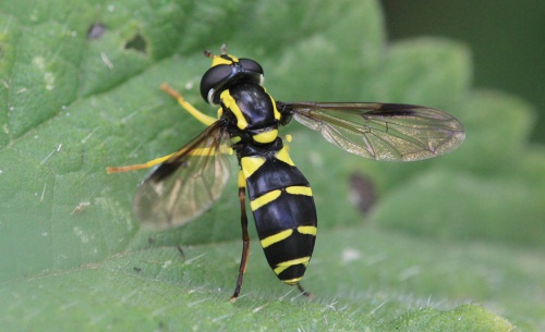 Xanthogramma pedissequum - Paul Ruddoch - Melton Country Park - 21 July 2015