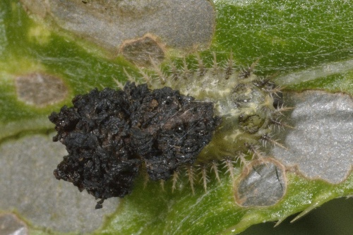 Cassida rubiginosa - Barbara Cooper - Long Clawson - 21 July 2015 - larva on Creeping thistle