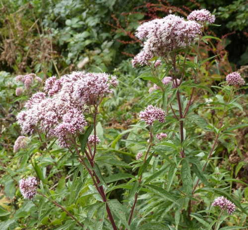 Eupatorium cannabinum - Graham Calow - Burbage Common - 16 August 2015