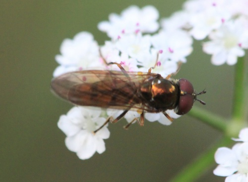 Melanostoma mellinum - Paul Ruddoch - Melton Country Park - 15 August 2015 - male - on Hedge Parsley