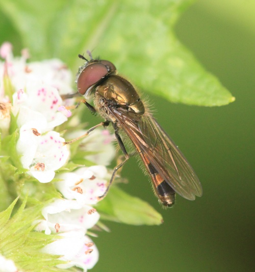 Platycheirus albimanus - Paul Ruddoch - Melton Country Park - 16 August 2015 - male - on Gypsywort
