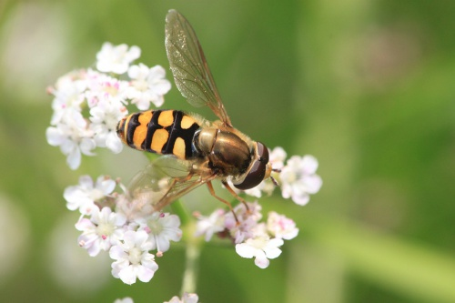 Eupeodes corollae - Paul Ruddoch - Melton Country Park - 17 August 2015 - male on Hedge Parsley