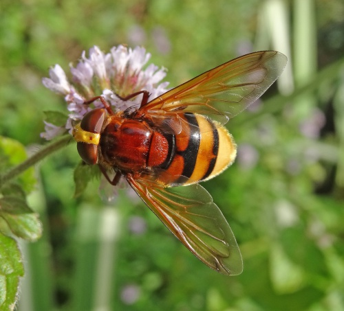 Volucella zonaria - AJ Cann - Knighton - 23 August 2015