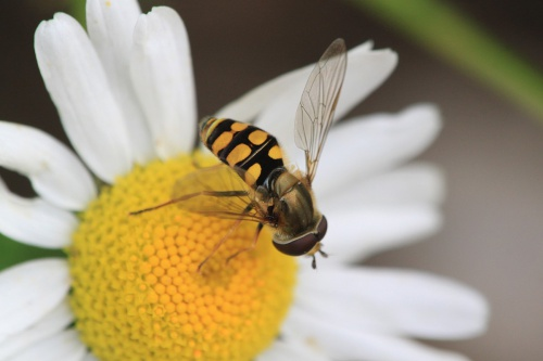 Eupeodes corollae - Paul Ruddoch - Melton Country Park - 19 August 2015