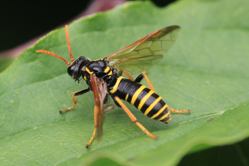 Tenthredo scrophulariae - Paul Ruddoch - Priors Close - 20 August 2015