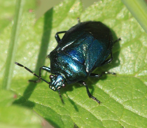 Zicrona caerulea - Paul Ruddoch - Melton Country Park - 22 August 2015