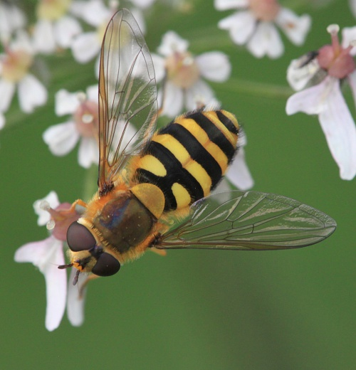 Syrphus ribesii - Paul Ruddoch - Melton Country Park - 01 September 2015