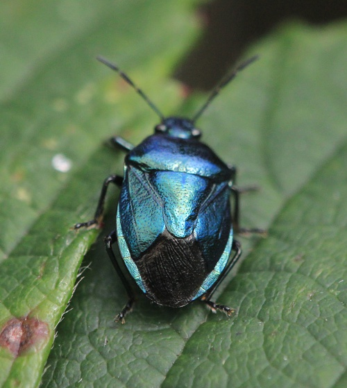 Zicrona caerulea - Paul Ruddoch - Melton Country Park - 10 September 2015