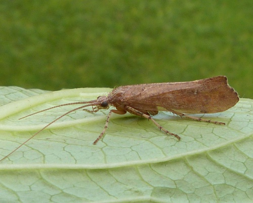 Glyphotaelius pellucidus - Graham Calow - Sapcote garden1 - 21 October 2015 - female