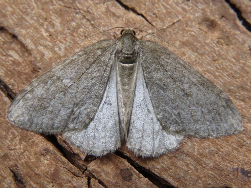 Epirrita dilutata - egaten - Thurlaston garden - 26 October 2015
