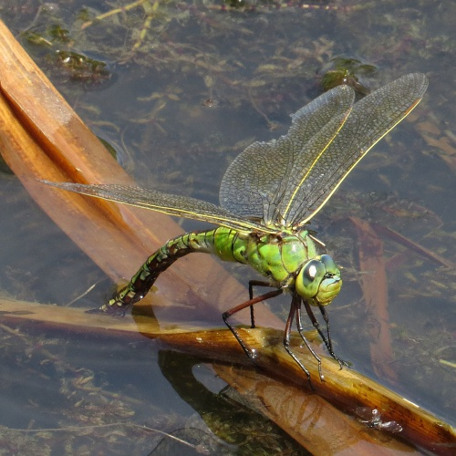 Anax imperator - David Gould - Croft Hill, Leics - 03 July 2015 - female ovipositing