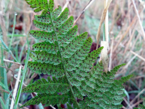 Dryopteris dilatata - AJ Cann - Launde Big Wood - 21 December 2015
