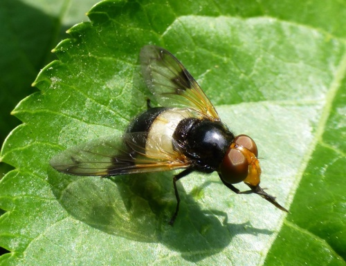 Volucella pellucens - Kate Nightingale - Cropston garden - 23 June 2015