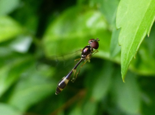 Baccha elongata - Kate Nightingale - Cropston garden - 25 June 2014