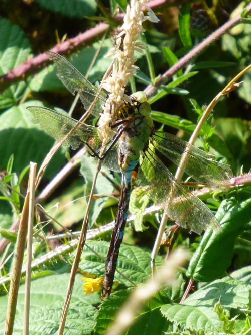 Anax imperator - Kate Nightingale - Puddledyke - 06 August 2014 - Eating a wasp