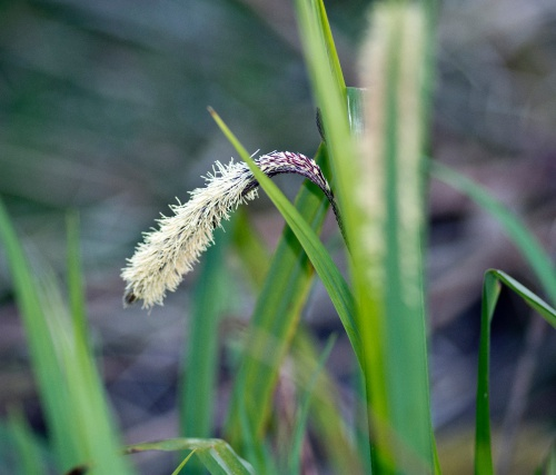Carex pendula - AJ Cann - Cloud Wood - 20 April 2016