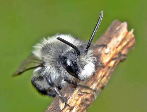 Andrena cineraria - Lostash - St Bernards Abbey - 23 April 2016