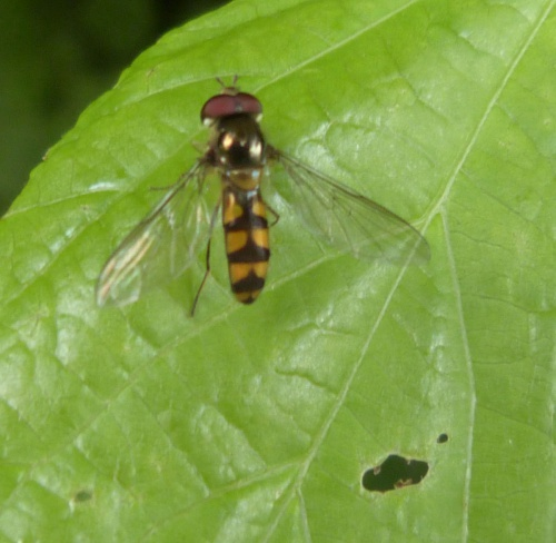 Meliscaeva auricollis - Graham Calow - Cosby Allotments  - 28 June 2016
