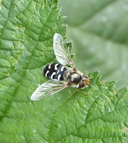 Scaeva pyrastri - Graham Calow - Footpath off Park Road, Cosby  - 28 June 2016