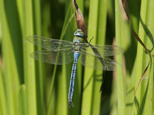 Anax imperator - Adrian Baker - Fosse Meadows, Sharnford - 12 July 2005 - male