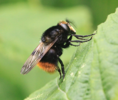 Volucella bombylans - Paul Ruddoch - Melton Country Park - 18 June 2016