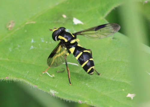 Xanthogramma pedissequum - Paul Ruddoch - Melton Country Park - 18 June 2016