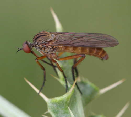 Empis livida - David Nicholls - Fleckney - 16 July 2016
