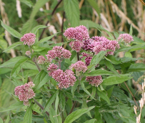 Eupatorium cannabinum - David Nicholls - Fleckney - 16 July 2016
