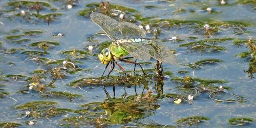 Anax imperator - Mark Skevington - Huncote Embankment - 17 July 2016 - Ovipositing