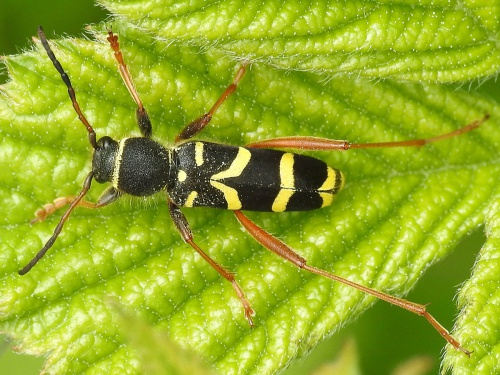 Clytus arietis - David Gould - The Spearwort Fields - 28 May 2016
