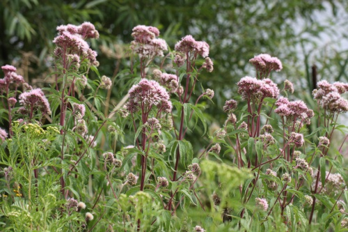 Eupatorium cannabinum - David Nicholls - Priory Water - 13 August 2016