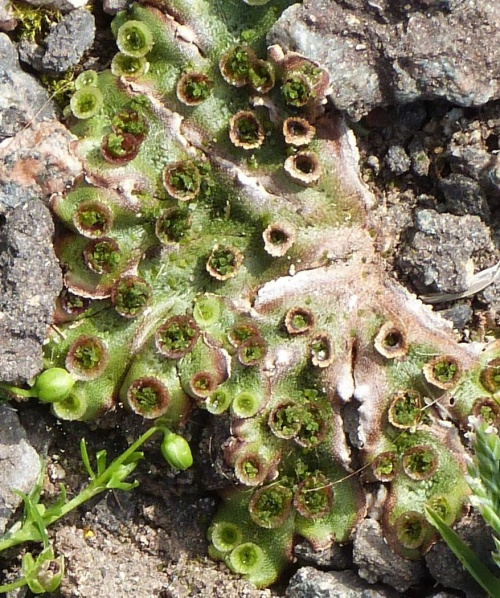 Marchantia polymorpha - Graham Calow - Near High Cross  - 18 August 2016 - with gemmae cups
