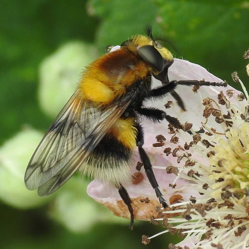 Volucella bombylans - David Gould - Aylestone Meadows, Leicester. - 18 June 2016