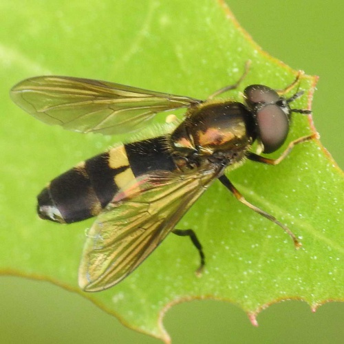 Platycheirus rosarum - David Gould - Ratby Meadow, Enderby - 26 July 2016