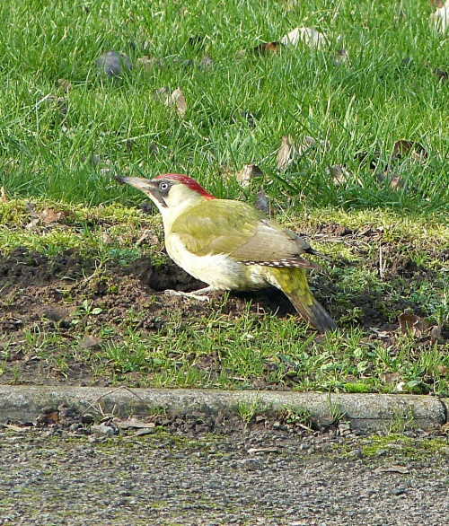 Picus viridis - Graham Calow - Sapcote - 14 February 2017